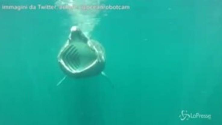 Scozia, lo squalo elefante mostra le fauci ai ricercatori