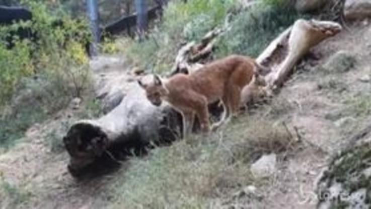 La lince euroasiatica non è estinta, nato un cucciolo sui Pirenei