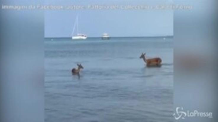 Grosseto, mamma e cucciolo di daino fanno un bagno nel mare
