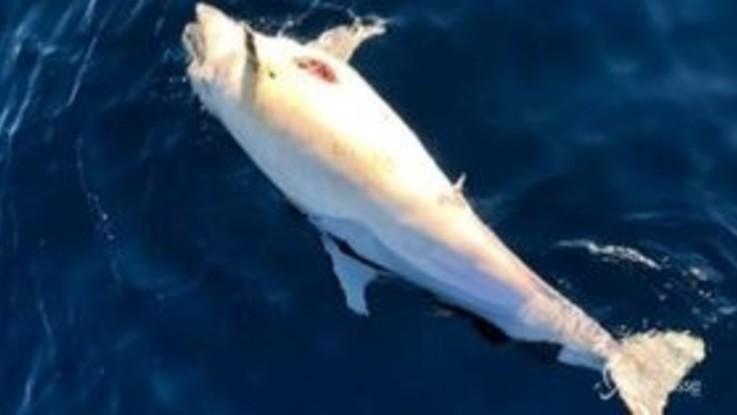 Strage di delfini in Toscana: 40 morti da inizio anno