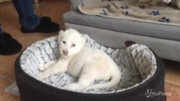 Nala e Simba, nati in Francia due cuccioli di leone bianco