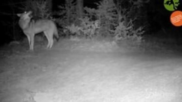 VIRAL PRESSE - Richiami nella notte: l'ululato del lupo, la risposta del branco - FACEBOOK
