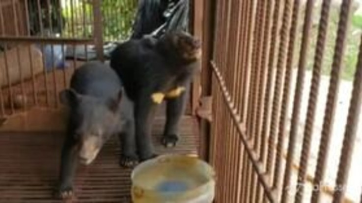 Laos, l'ong Free the Bears salva 5 cuccioli di orso