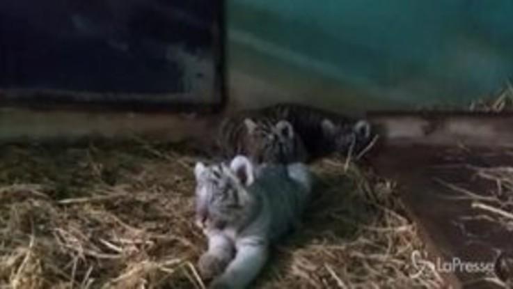 Ecco i 3 cuccioli di tigre del Bengala, lo zoo di Lima festeggia