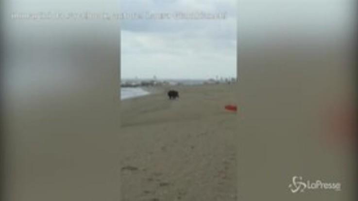 VIRALPRESSE - Bagnanti improbabili a Ravenna: sulla spiaggia spunta un cinghiale