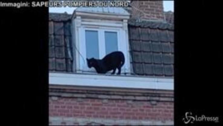 Panico in Francia, una pantera nera passeggia sui tetti | VIDEO