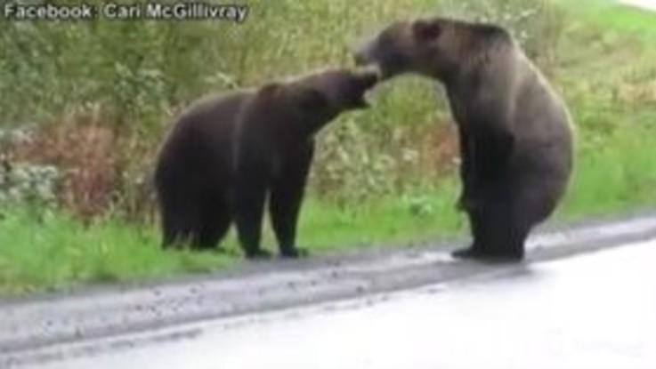 VIRALPRESSE - Canada, due grizzly lottano in mezzo all'autostrada