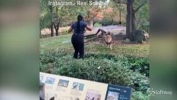 Entra nella gabbia dei leoni per una bravata, panico allo zoo di New York