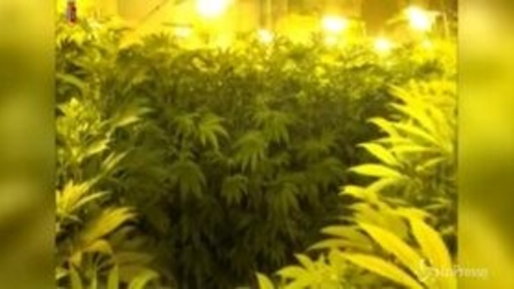 Catania: 740 piante di marijuana in una villa, 6 arresti