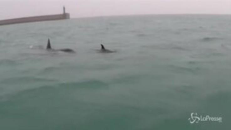 Genova, le orche nuotano nelle acque del porto
