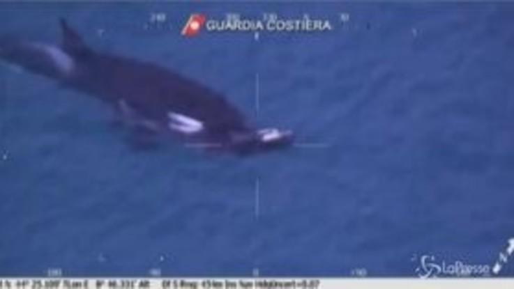 Monitoraggio delle orche a Genova: il branco di cetacei ripreso dalla Guardia Costiera