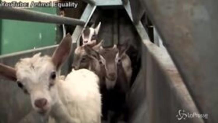 La strage degli agnelli, mezzo milione macellati per il Natale degli italiani