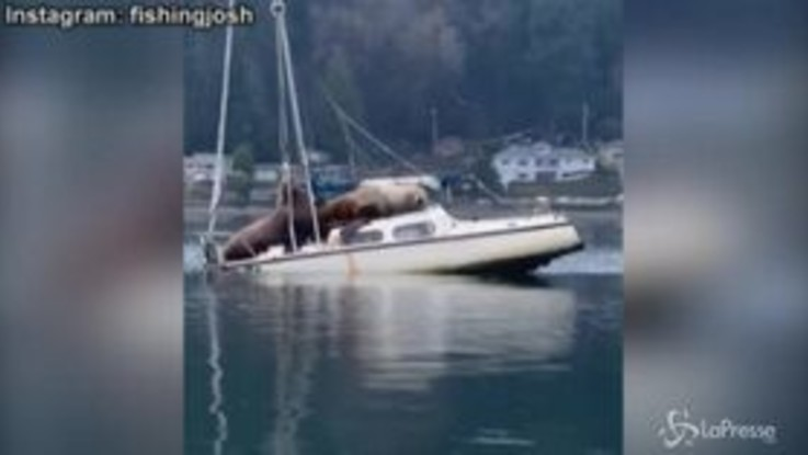 Usa, leoni marini a spasso su una barca: il video virale fa il giro del mondo