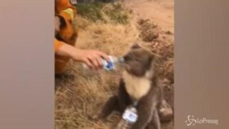 Incendi Australia: koala assetato, un vigile del fuoco gli dà da bere