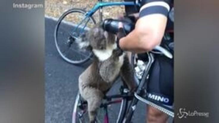 Australia, la ciclista disseta il koala in fuga dagli incendi