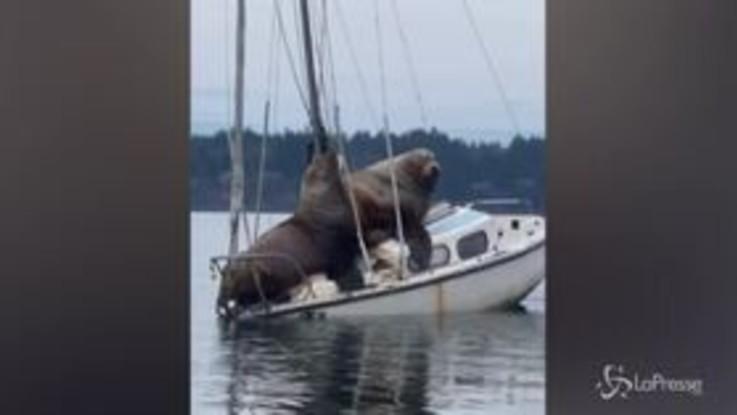 Usa: leoni marini in relax su una barca a vela, l'imbarcazione rischia di affondare