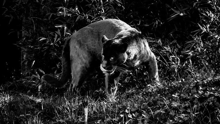 Allarme nel Cuneese, c'è una pantera nera nelle campagne