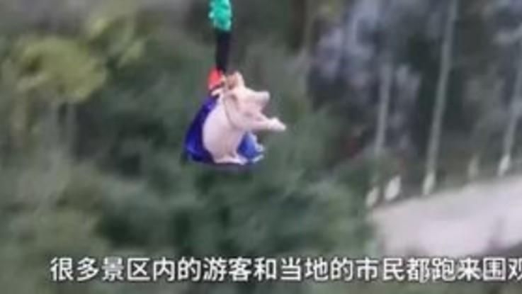 Fanno fare il bungee jumping a un maiale, il crudele spettacolo in un parco in Cina