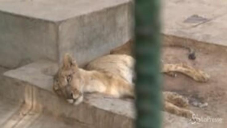 Sudan: i leoni dello zoo stanno morendo di fame, gli animali ridotti pelle e ossa
