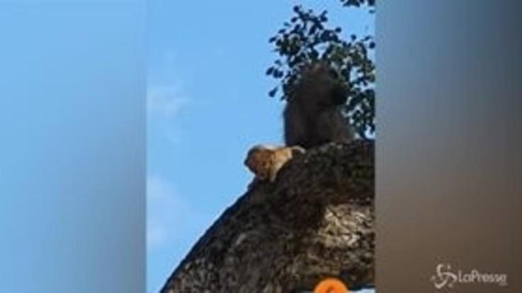 Kruger Park, cucciolo di leone rapito dal babbuino
