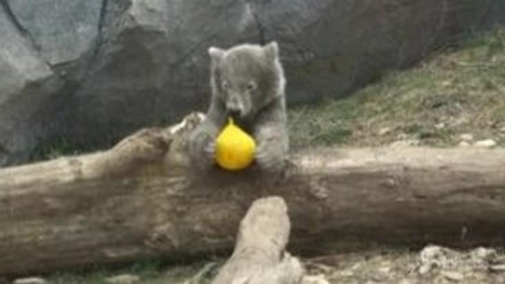 Coronavirus, lo zoo di Vienna è chiuso e il cucciolo di orso polare si diverte come un pazzo