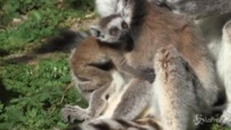 Coronavirus, la vita tranquilla dei lemuri nello Zoo di Vienna