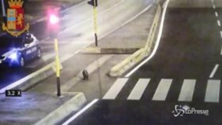 Firenze: polizia 'scorta' un'istrice fuori strada