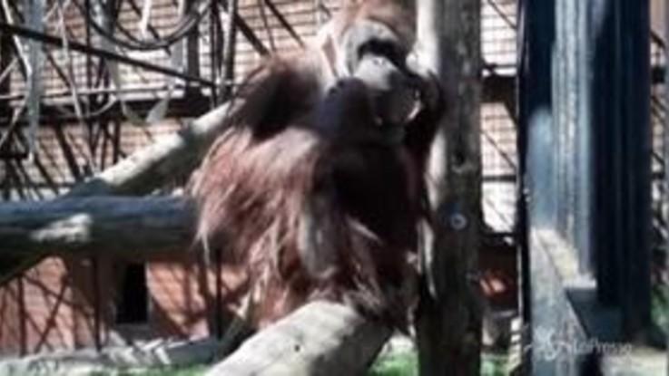 Coronavirus, Polonia: con l'orangotango la mascherina diventa un gioco