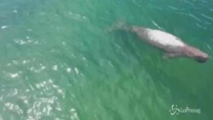 Tailandia, il relax dei dugonghi durante il lockdown