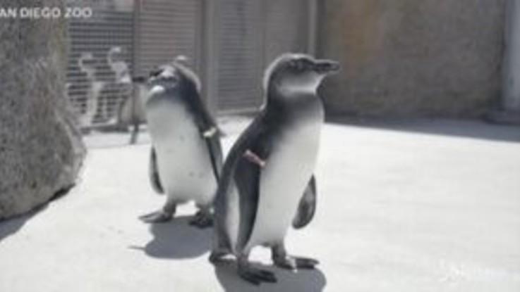 San Diego, cuccioli di pinguino a lezioni di nuoto