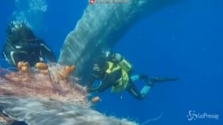 Intrappolato in una rete da pesca, le spettacolari immagini del salvataggio di un capodoglio