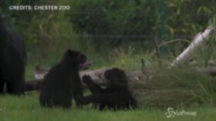 Due cuccioli di orso dagli occhiali nati allo zoo di Chester