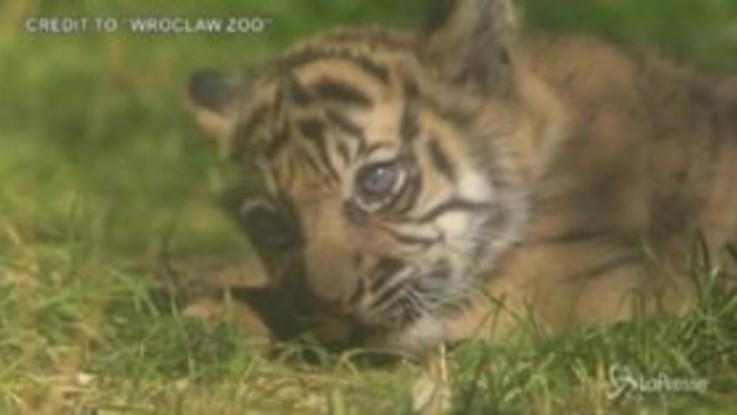 Polonia: allo zoo di Wroclaw il protagonista è un cucciolo di tigre di Sumatra