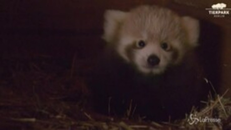 Allo zoo di Berlino il grande protagonista è un cucciolo di panda rosso