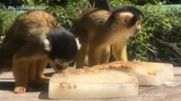 Londra, le scimmiette si rinfrescano con i ghiaccioli