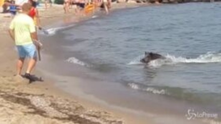 Germania: cinghiale arriva a nuoto in spiagga e terrorizza i bagnanti