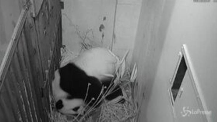 Usa, nato un cucciolo di panda gigante nello zoo di Washington