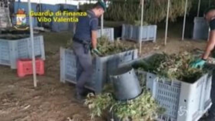 Vibo Valentia, sequestrati 6 quintali di marijuana e 5 mila piantine di canapa