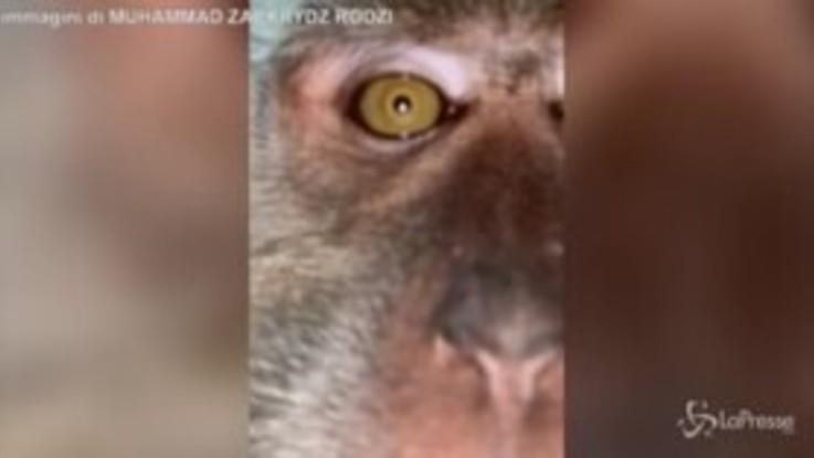 Malesia, la scimmia ruba un cellulare e si fa un video selfie