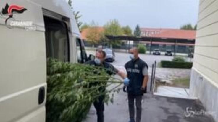 Torino, filiera della marijuana: in casa piante alte 3 metri