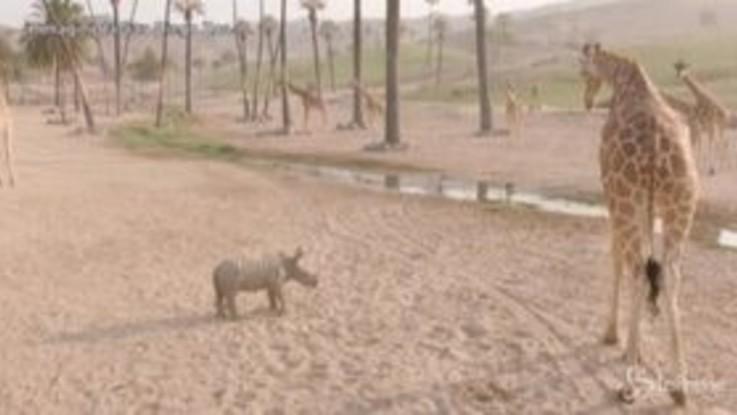 San Diego, due cuccioli di rinoceronte bianco alla scoperta dello zoo