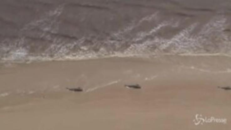 Australia, 380 balene morte al largo della Tasmania