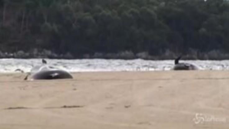 Tasmania, le drammatiche immagini delle balene morte incagliate