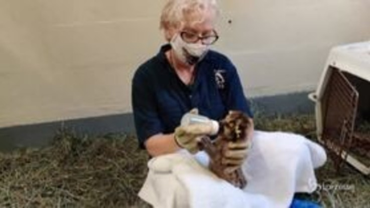 California: biologi cercano di allevare cuccioli di leone di montagna