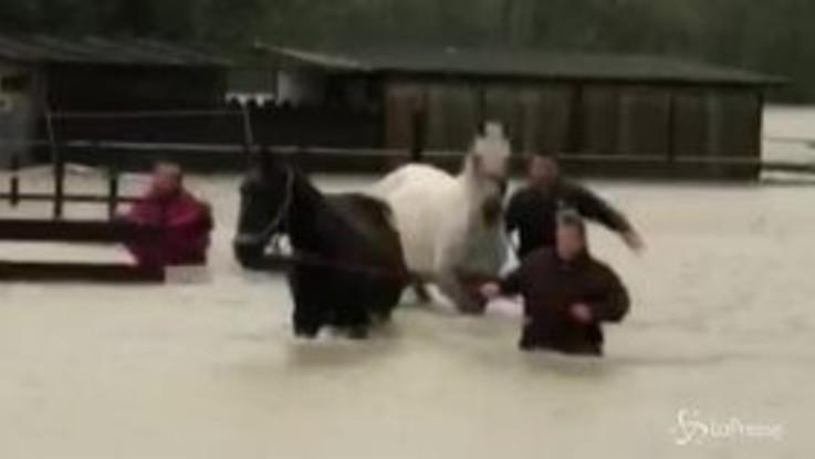 Maltempo, nell'Ossola cavalli salvati dalla pioggia