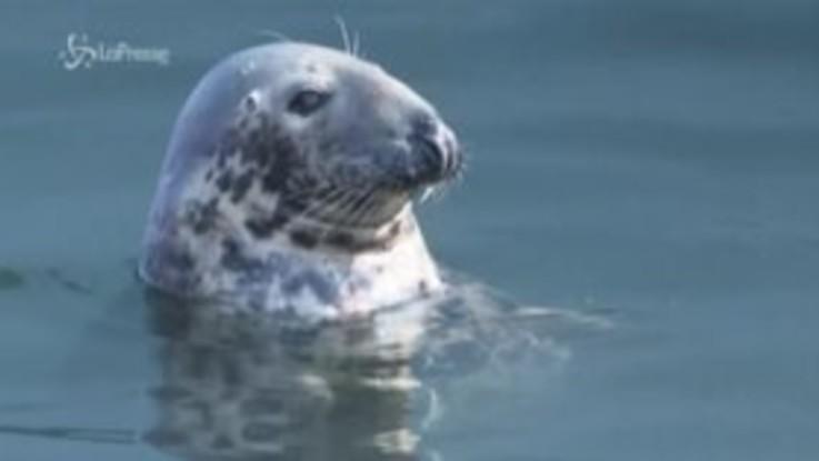 Le foche invadono le coste del New England