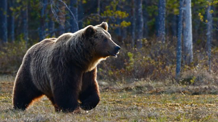 Trentino, Enpa: Bene revoca ordinanza su cattura orsi