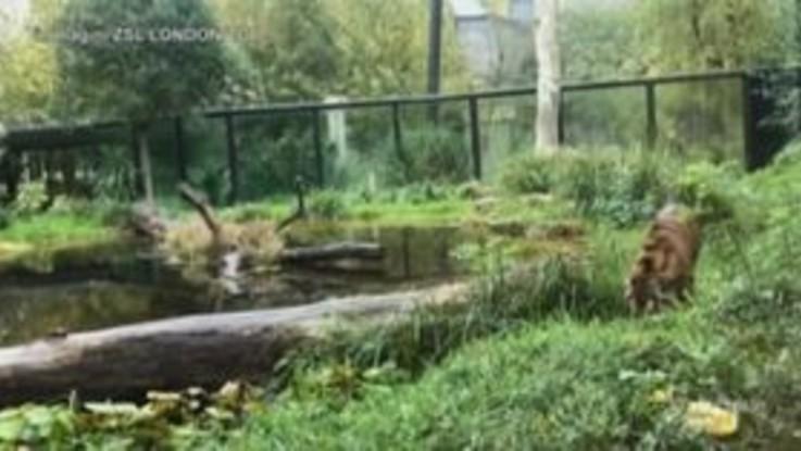 Londra, Halloween si avvicina: nello zoo la tigre Asim entra nello spirito della festa