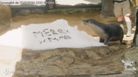 Sydney: leoni, giraffe e scimmie alle prese con i regali di Natale