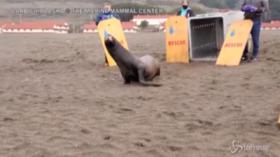 California: torna nell'Oceano Jenya, il leone marino ridotto in fin di vita da uno squalo